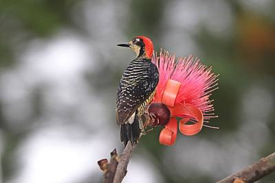 Popular Rustic Neutral Tones - Black-cheeked Woodpecker on Shaving Brush Tree by Marlin and Laura Hum