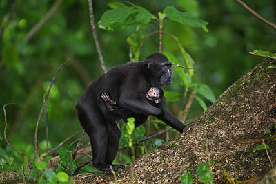 Animal Family Photograph - Black Crested Macaque Female Carrying by Anup Shah
