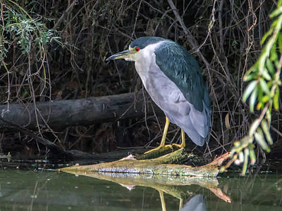Photograph - Black-crowned Night Heron 0285-111618-1cr by Tam Ryan