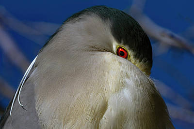 Photograph - Black Crowned Night Heron 1 by Rick Mosher