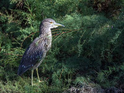 Photograph - Black-crowned Night Heron 4793-101918-1cr by Tam Ryan