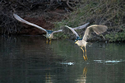 Photograph - Black-crowned Night Heron Chase 1354-011819 by Tam Ryan