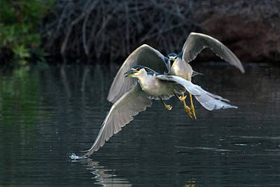 Photograph - Black-crowned Night Heron Chase 1355-011819 by Tam Ryan