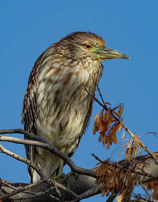 Photograph - Black Crowned Night Heron Female by Rick Mosher