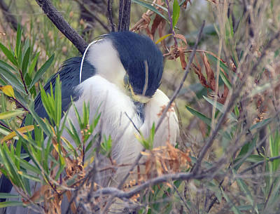 Photograph - Black-crowned Night Heron Napping 1041-011419 by Tam Ryan