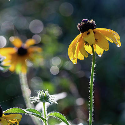 Photograph - Black Eyed Susan by Bill Wakeley