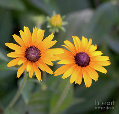 Moody Trees - Black Eyed Susan by Cathy Donohoue