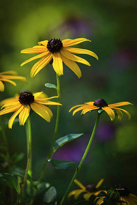 Recently Sold - Still Life Royalty-Free and Rights-Managed Images - Black Eyed Susan by Christina Rollo