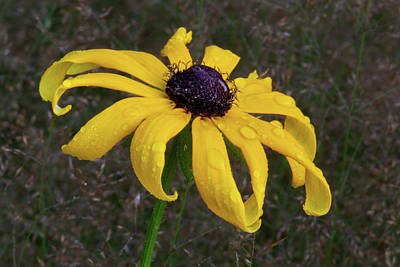 Photograph - Black Eyed Susan by Dale Kincaid