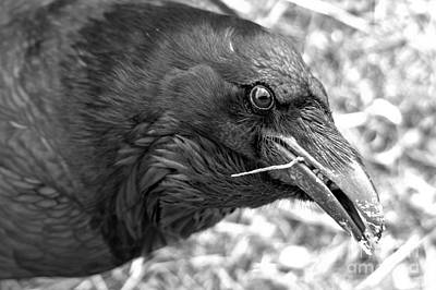 Photograph - Black Eyes Of The Raven Black And White by Adam Jewell