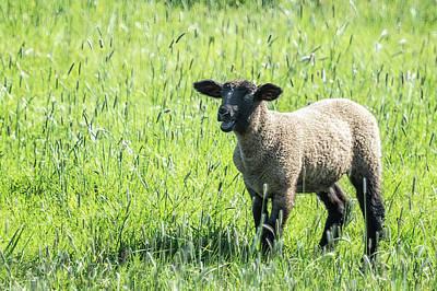 Photograph - Black Faced Lamb Baaing by Belinda Greb