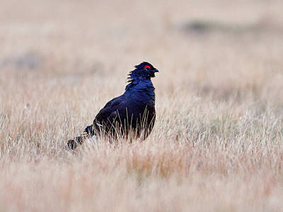 Vintage Ford - Black grouse bad hair day by Jouko Lehto