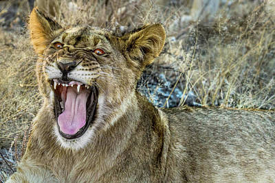 Photograph - Black-maned Lion Cub by Kay Brewer