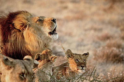Photograph - Black-maned Lion Of The Kalahari With Two Cubs by Kay Brewer