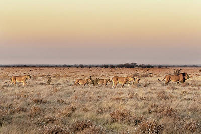 Photograph - Black-maned Lions Of The Kalahari by Kay Brewer