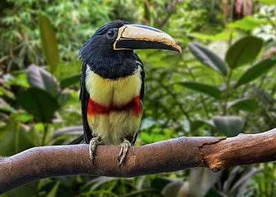 Personalized Name License Plates - Black-necked Aracari by Arterra Picture Library