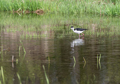 Photograph - Black-necked Stilt 2018-1 by Thomas Young