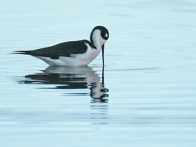 Photograph - Black-necked Stilt 4663-101918-1cr  by Tam Ryan