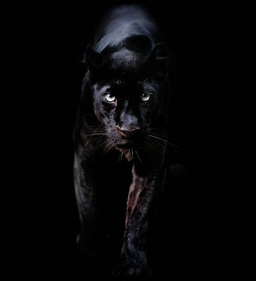 Photograph - Black Panther by Freder