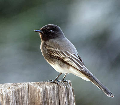 Photograph - Black Phoebe 4631-101918-1cr by Tam Ryan