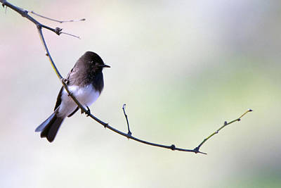 Photograph - Black Phoebe 5301-022619 by Tam Ryan