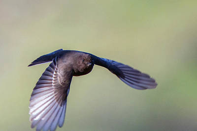 Photograph - Black Phoebe 5305-022619 by Tam Ryan