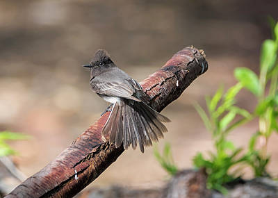 Photograph - Black Phoebe Display by Loree Johnson