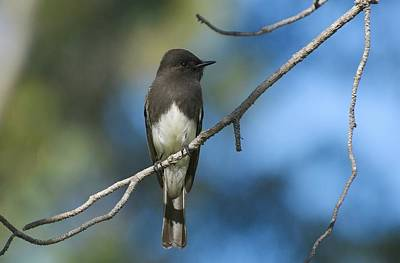 Photograph - Black Phoebe Portrait by Fraida Gutovich
