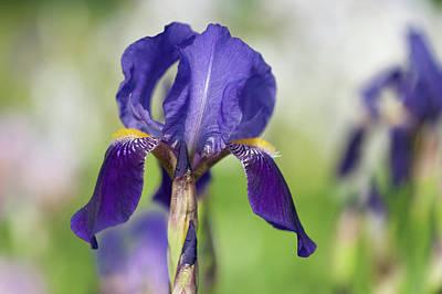 Photograph - Black Prince. The Beauty Of Irises by Jenny Rainbow