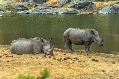 Photograph - Black Rhinoceros In Kruger by Benny Marty