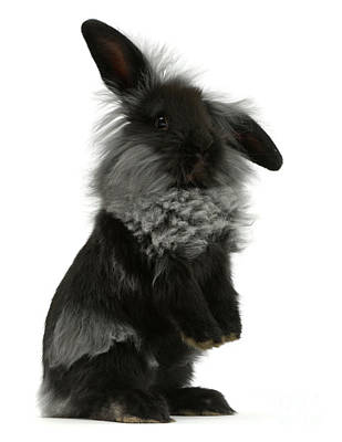 Photograph - Black Rough Bunny by Warren Photographic