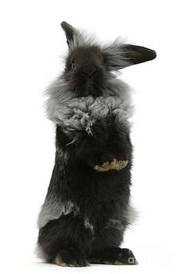 Photograph - Black Rough Rabbit by Warren Photographic