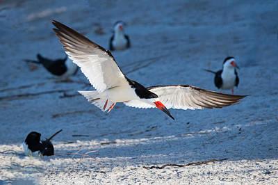 Photograph - Black Skimmer in Flight by Jay Whipple