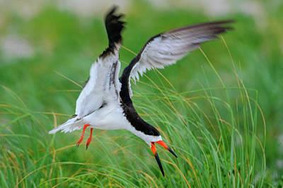 Photograph - Black Skimmer Rynchops niger by Myer Bornstein