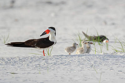 Photograph - Black Skimmer With Chicks by Susan Rissi Tregoning