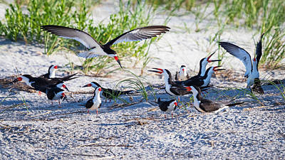 Photograph - Black Skimmers Courting by Jay Whipple