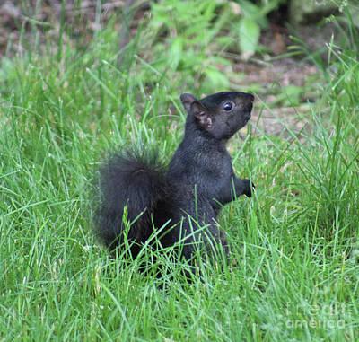 Photograph - Black Squirrel by Julie Kindt