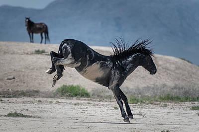 Photograph - Black Stallion Bucking by Paula Mitchell