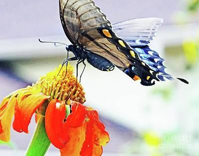 Photograph - Black Swallowtail 15 by Lizi Beard-Ward
