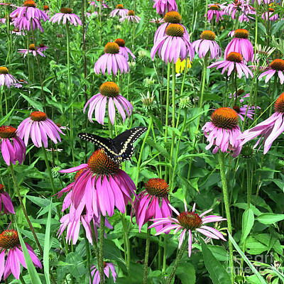 Photograph - Black Swallowtail And Echinacea 1 by Amy E Fraser