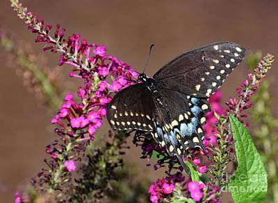 Tina Turner - Black Swallowtail and Pink Butterfly Bush by Cindy Treger