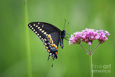 Photograph - Black Swallowtail Balance by Karen Adams