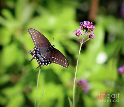 Photograph - Black Swallowtail Butterfly In Sun And Shadows by Karen Adams