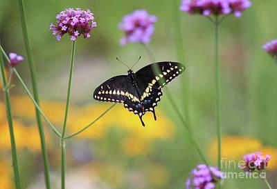 Photograph - Black Swallowtail Dorsal View by Karen Adams