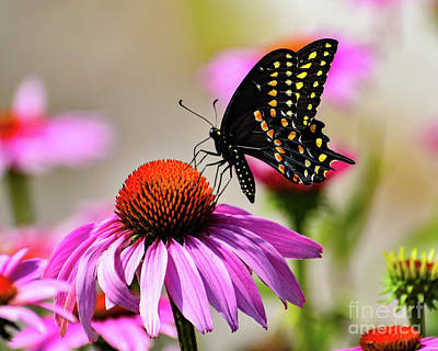Animal Paintings David Stribbling - Black Swallowtail Feasting On A Coneflower by Cindy Treger