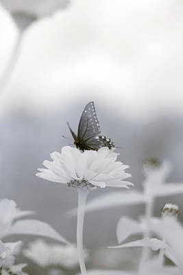 Photograph - Black Swallowtail Infrared 2 by Brian Hale