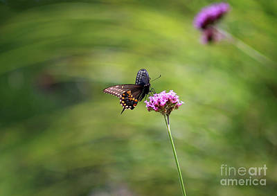Photograph - Black Swallowtail Landing by Karen Adams