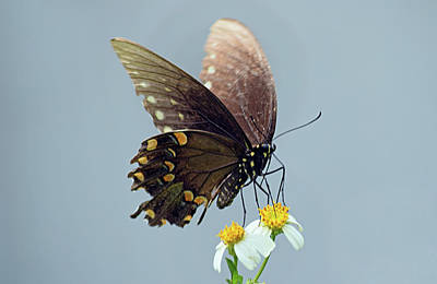Photograph - Black Swallowtail by Larah McElroy