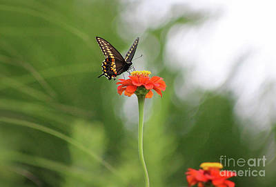 Photograph - Black Swallowtail On Orange Zinnia by Karen Adams