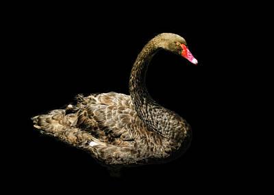 Black Swan On Black  Art Print